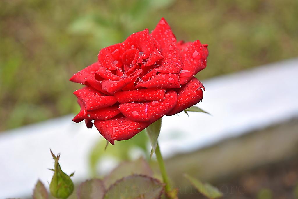 Rose near Bhor